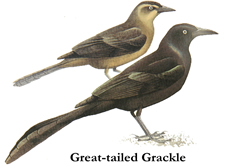 Illustration showing male and female Great-tailed Grackle