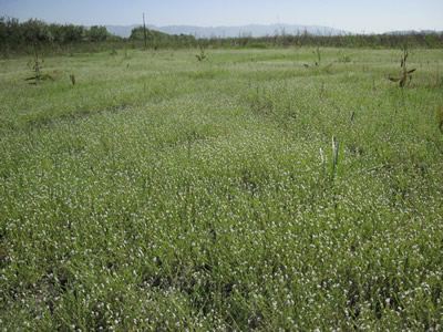 Field of Popcorn Flowers