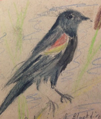 Red-winged Blackbird by Amelia Pedersen