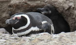 Penguin and chick in nest
