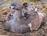 Pied-Billed Grebe and Chicks on Floating Nest