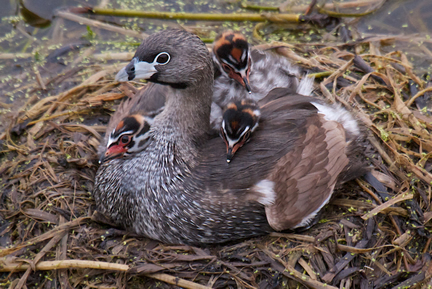 Pied-billed Grebe and chicks on floating nest in Struve Slough. Efren Adalem