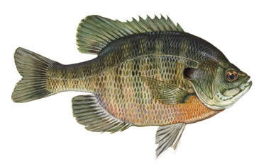 bluegill large