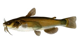 Non-Native Fish