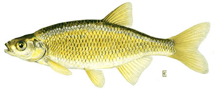 golden shiner large