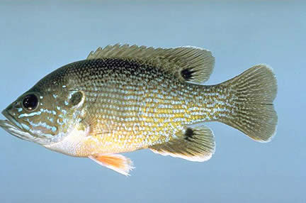 green sunfish large