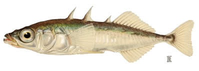 three spine stickleback large