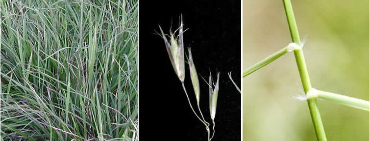 california-oat-grass
