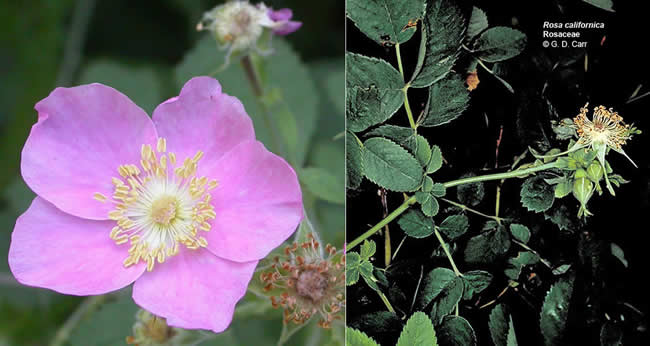 california-wild-rose