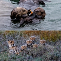 The Edge of Extinction: Can Sea Otters and Cheetahs Survive the Human Threat?