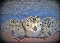 The Secret Lives of Snowies - Ecology and Conservation of Snowy Plovers